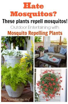 I had no idea that these plants repelled mosquitos. Feeling a little clueless but I am sure I'm not the only one right? Decorating + entertaining with mosquito repelling plants