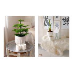 Efterlängtade julväxter i adventstider..... #amaryllis#minigran#tinek#öb#getfäll#prints#brukadesign#hem#interiör#inredning#adventstider# inredning#vit#instahome#