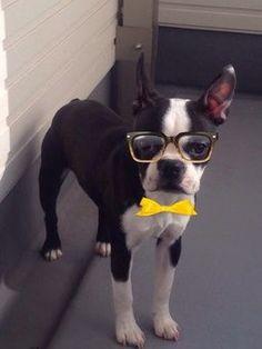 New   Boston Terrier Friendzy