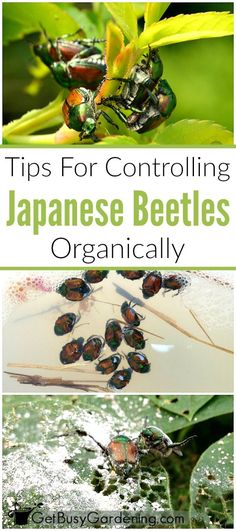 Japanese beetles are very destructive, and major pests for many gardeners! Learn how to control them in your garden with these organic pest control methods.