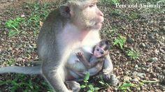 Nicely smallest  baby monkey breastfeeding | Episode 8 - YouTube