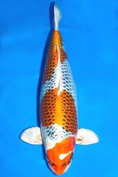 Kujaku Koi | Maruten Kujaku Koi Fish Pinterest Koi Fish And Beautiful Fish