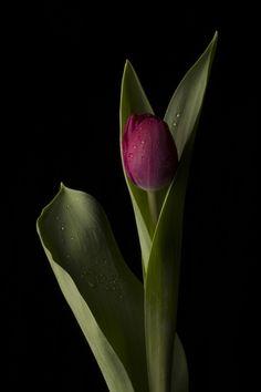 Tulip by katiewoodward Pink Tulips, Tulips Flowers, Exotic Flowers, Amazing Flowers, Pretty Flowers, Flower Pots, Flower Background Wallpaper, Flower Phone Wallpaper, Flower Backgrounds