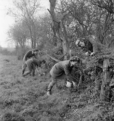 Land Girl Rat Catchers at work as part of their training on a Sussex farm. In the background Audrey Prickett and Betty Long plug a rat hole after inserting poison and in the foreground Eileen Barry lays some bait, as Audrey Willis leans over the hedge to check she is doing it properly.