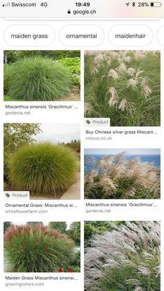 Miscanthus Sinensis Gracillimus, Pond Maintenance, Ornamental Grasses, Herbs, Plants, Herb, Plant, Planets, Medicinal Plants