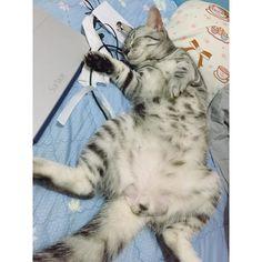 睡著醜照 / /  #cat #cats #cute #kitty #pet #貓 #貓咪 #neko #nekostagram #sleep #momo #poppy #美短 #instacat #instacats #meow #catstagram #catlover #instacute #tiger #fatcat #animal #animals #猫 #帥 #美國短毛貓 #虎斑貓 #momo by momocat315