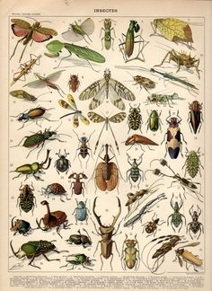 Insects, 1897 Antique Print, Vintage Lithograph, Insects Print, Beetles Poster, Jewel Beetles, Crickets, Grasshoppers, Damselfly, Mantis via craftissimo prints. Click on the image to see more!