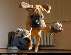 Attention, attention….. incoming Boxer puppy ready to pounce in 3, 2, 1….