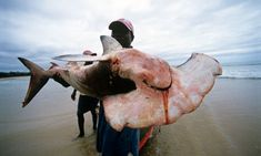 Chinese appetite for shark fin soup devastating Mozambique coastline - Fisherman with hammerhead shark, Inhassoro, Mozambique. Illegal shark finning