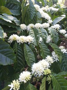 Grinding Coffee Beans Gives Chance to Have Fresh Coffee - CoffeeLoverGuide Coffee Bean Tree, Coffee Plant, Fruit Plants, Fruit Trees, Coffee Cafe, Coffee Shop, White Flowers, Beautiful Flowers, Transitional Frames