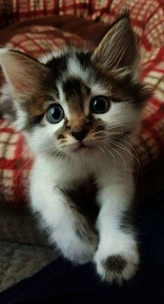 such an awesome little bundle of joy ... cute #kittens ... the markings are so purfff..ect...perfect ...