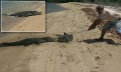 Fisherman hits a hungry crocodile that tried to steal huge shark #DailyMail