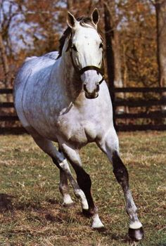 Caro sire of Winning Colors. Grandsire of Unbridled's Song through his Dam Trolly Song. Horse Tack, Horse Racing, Beautiful Horses, Animals Beautiful, Sport Of Kings, Thoroughbred Horse, Racehorse, Courses, Grey Horses