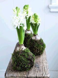 Met de Amaryllis bloembol maak je de leukste herfst en kerststukjes! - Zelfmaak ideetjes