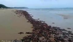 Thousands of dying starfish mysteriously wash up on Australian Coastline, Scientists Baffled.