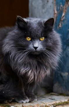 Intense fluffy black cat  Source: tumblr: http://cute-overload.tumblr.com/
