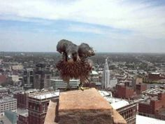 SPCA ARCHIVES: Statler Tower Juvenile Peregrine Cared for at SPCA, Relea...