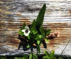 Ruohokanukka Cornus suecica