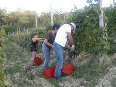 Grapes Harvest in Tacchino Raffaele Wineyards in Piedmont 4
