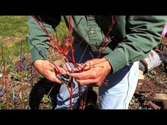 www.Sollecito.com Learn how to prune a shrub, plant or bush. Landscaping ideas & tips from Sollecito Landscaping Nursery, a Syracuse, NY landscaping nursery. To get advice from a Senior NYS Certified Landscaping Professional on how you can design & create sustainable and affordable landscapes visit http://sollecito.com. #LandscapeNursery #LandscapingDesigners #LandscapingIdeas