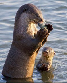 445 best mustelids of the world images in 2019 nature otter rh pinterest com
