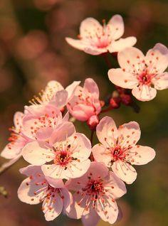 Plum blossoms ما هذا السحر !؟ ما هذا الجمال !؟ سبحان الله وبحمده !!