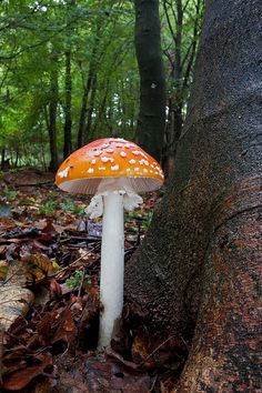 Amanita muscaria | Flickr - Photo Sharing!