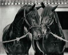 A Coudaleria Ortigao Costa tem presentemente 58 éguas de cor preta sendo 50 puro sangue lusitano e 8 da raça Português de desporto. Foto de Lena Saugen
