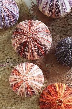 blogbyjoyce: #seashells splendid purple #urchins