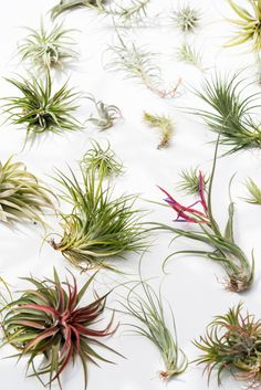So...how's everyone's air plants doing?  At friends' places and on our own homestead, we've seen tillandsias run the gamut — ranging from tormented, thirsty