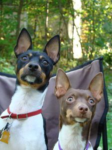 .rat terriers. the best little guys in the world.