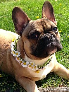 French Bulldog in a Daisy Chain