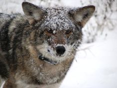 The Eastern coyote looks like a medium-sized German shepherd dog, with long thick fur. The tail is full and bushy, usually carried pointing down. Ears are erect and pointed.