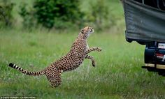 It started out innocently enough: It's normal for cheetahs and other animals to be curious when the safari trucks pass through.