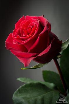 ☼ Damask rose ☼ by ☼ Eugene Banin ☼ - Photo 8441629 - 500px