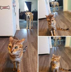 Sarah (Dog) Stole A Bite Of Stella's Food And Stella Came Running To Me In The Kitchen To Literally Bitch About It 🤣 🤣 Funny Animal Memes, Funny Animal Pictures, Cat Memes, Funny Cats, Funny Animals, Crazy Pictures, Funny Memes, Cat Tent, Cat Sitting