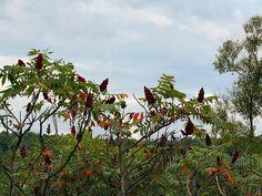sumac tree identification | Regular sumac tree... @Shay Chaney