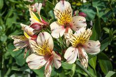 Astroemeria or Peruvian Lilly