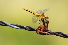 dragonfly on a barbed wire fence