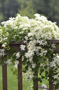 This is Sweet Autumn Clematis ~ easy to maintain for sun/shade conditions. blooms in late summer
