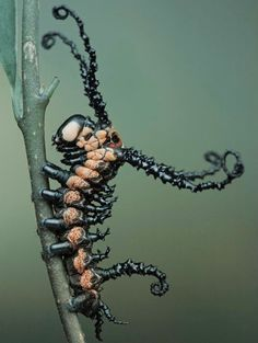 Brahman Moth Caterpillar, or Carnage & Venom making a seriously scary winged insect!