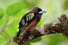 Birds Banded Broadbill, Indonesia, Sumatra