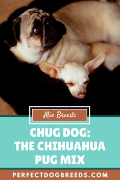 The Chihuahua Pug Mix dogs are loving dogs and will quickly become a member of the family through forming strong bonds with their family and become very attached. Read on to learn more about this designer dog breed.  #chihuahuapugmix #pugchihuahuamix #chugdog