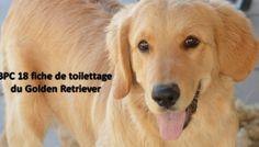 Fiche de toilettage du Golden Retriever
