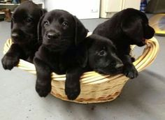 Mind Blowing Facts About Labrador Retrievers And Ideas. Amazing Facts About Labrador Retrievers And Ideas. Labrador Golden, Black Labrador Retriever, Golden Retriever, Labrador Retriever Dog, Labrador Puppies, Black Lab Puppies, Cute Puppies, Cute Dogs, Dogs And Puppies