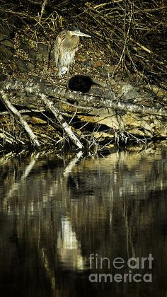 Title  Great Blue Heron Reflection   Artist  Belinda Greb   Medium  Photograph - Photograph, Photography, Photographs