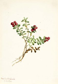 Mountain Cranberry (Vaccinium vitisdaea minus) by Mary Vaux Walcott / American Art