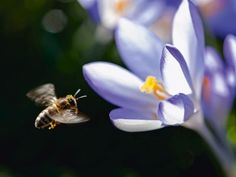 Uta Naumann: Biene und Krokus - Leinwandbilder auf Keilrahmen