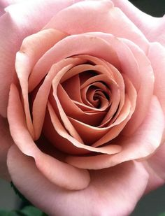 Koko Loco Rose ~ photo by Tammy Sims