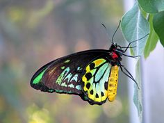 Cairns Birdwing - photos, Ornithoptera euphorion